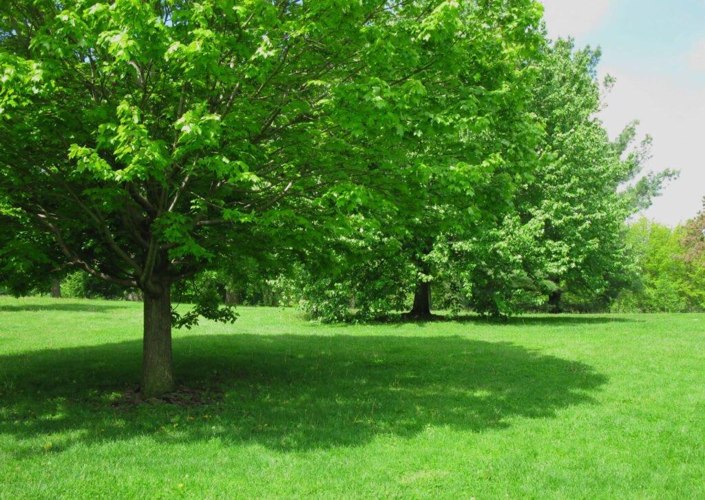 big shade tree