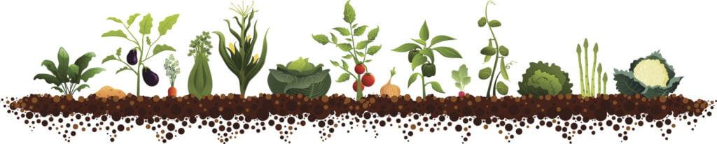 vegetable plants in soil